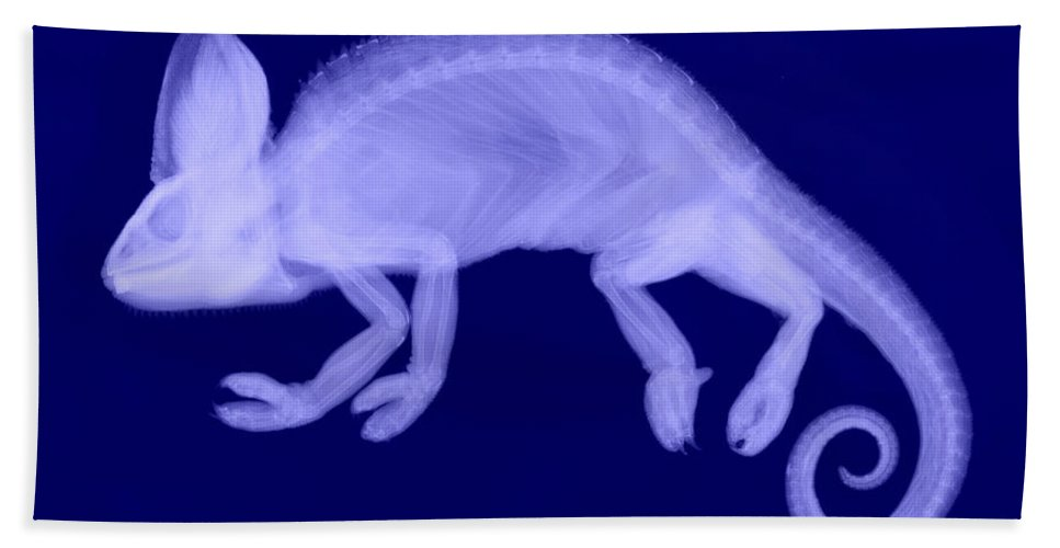 Reptile Hand Towel featuring the photograph Veiled Chameleon X-ray by Ted Kinsman