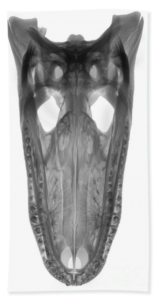 X-ray Hand Towel featuring the photograph X-ray Of American Alligator by Ted Kinsman