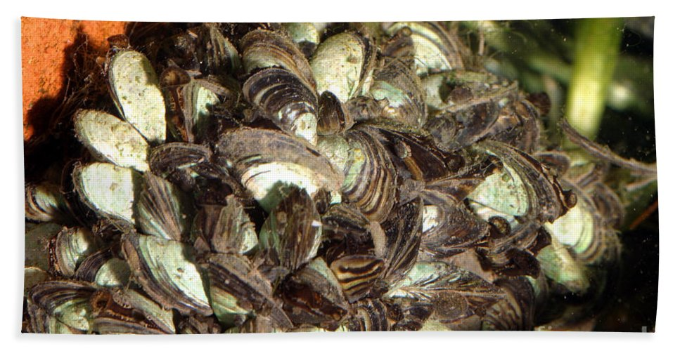 Animal Hand Towel featuring the photograph Zebra Mussels Dreissena Polymorpha by Ted Kinsman