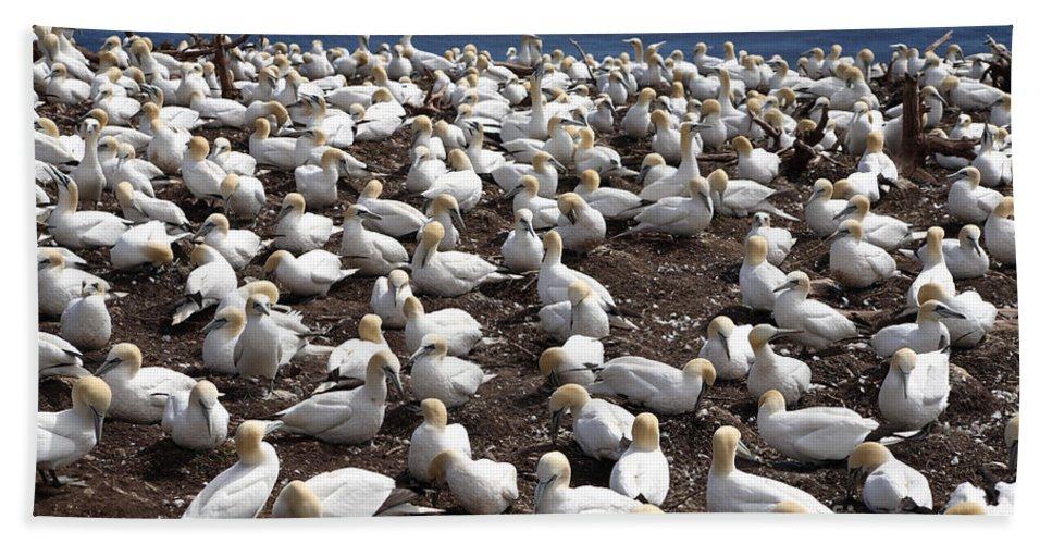 Northern Gannet Hand Towel featuring the photograph Gannet Colony by Ted Kinsman