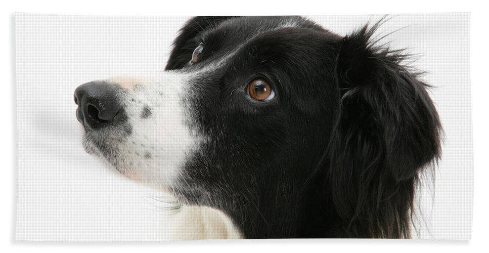 Animal Hand Towel featuring the Border Collie by Mark Taylor