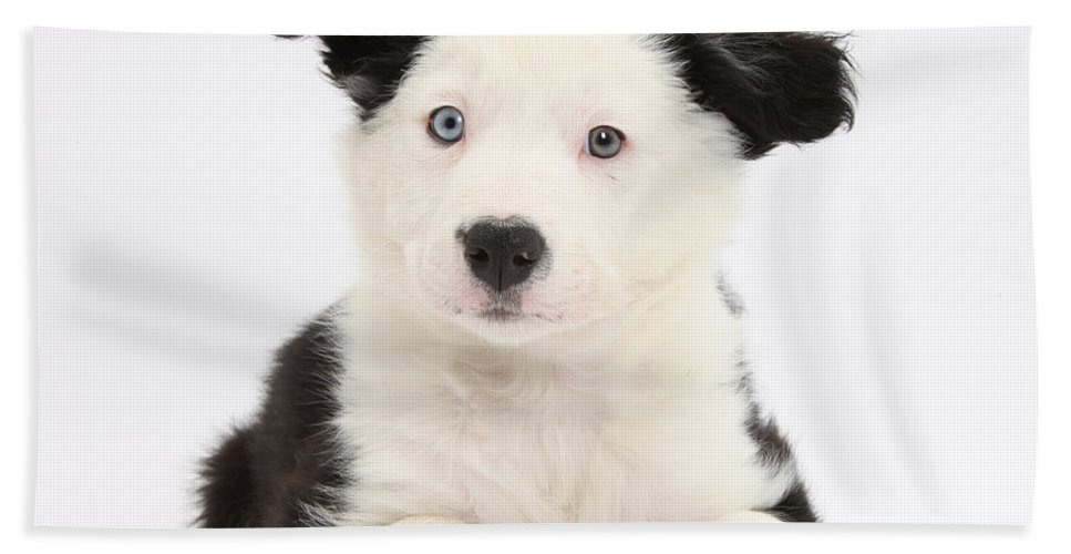 Nature Hand Towel featuring the photograph Border Collie Puppy by Mark Taylor