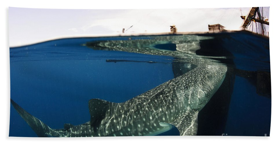 Split Hand Towel featuring the photograph Whale Shark Feeding Under Fishing by Steve Jones