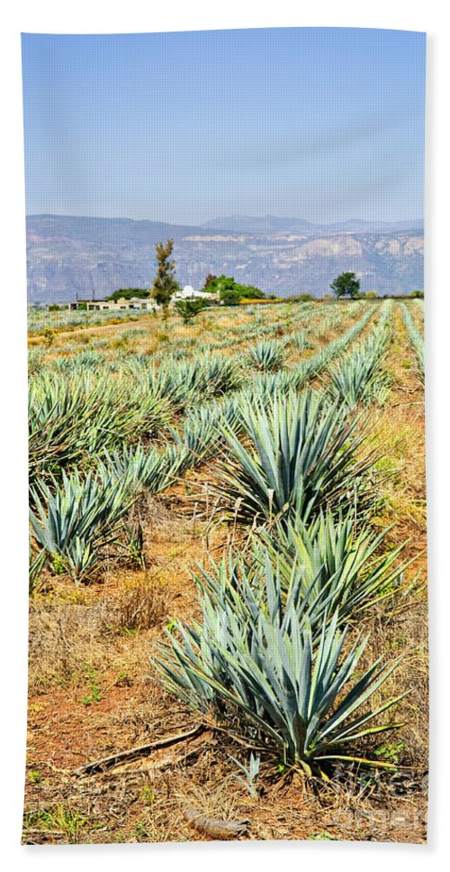 Agave Bath Sheet featuring the photograph Agave Cactus Field In Mexico by Elena Elisseeva