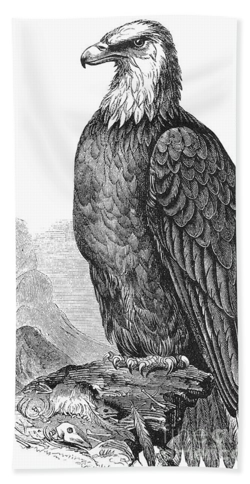 19th Century Hand Towel featuring the photograph Bald Eagle by Granger