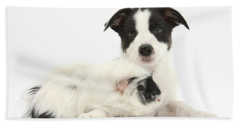 Nature Hand Towel featuring the photograph Border Collie Pup And Guinea Pig by Mark Taylor