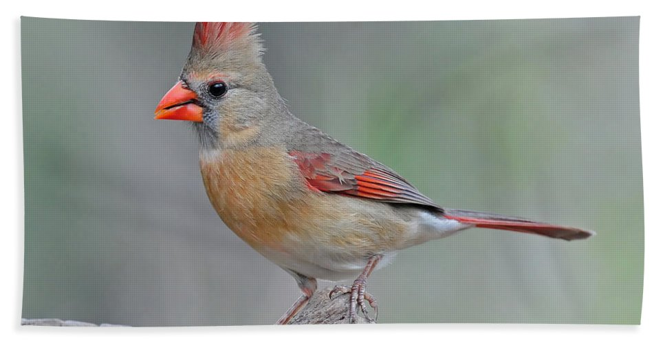 Cardinal Hand Towel featuring the photograph Female Cardinal by Dave Mills