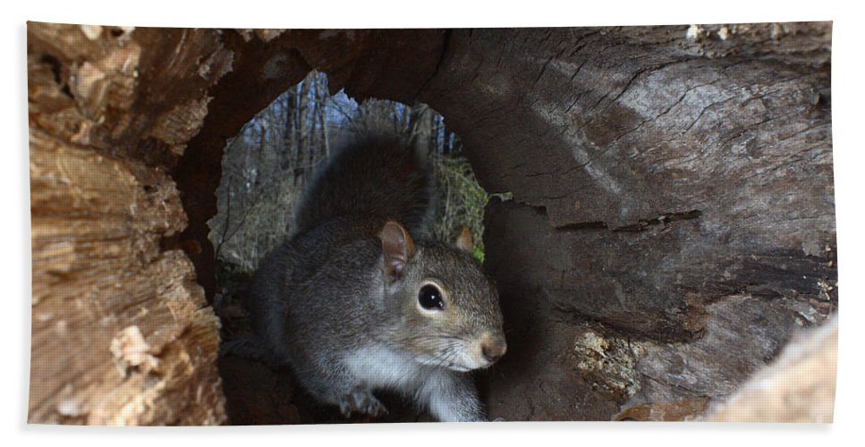 Eastern Gray Squirrel Hand Towel featuring the photograph Gray Squirrel by Ted Kinsman