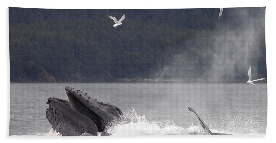 Mp Hand Towel featuring the photograph Humpback Whale Megaptera Novaeangliae by Matthias Breiter
