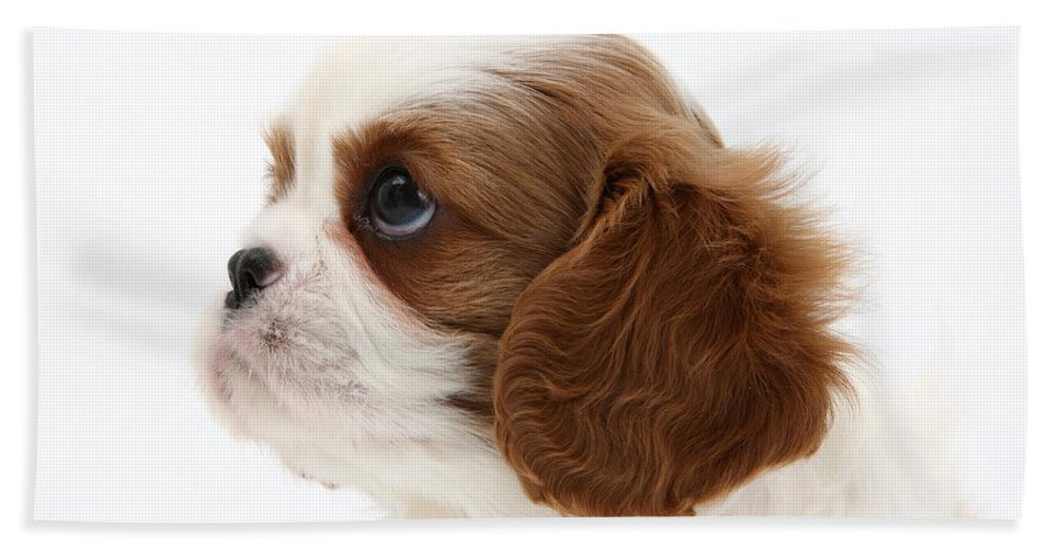 Animal Hand Towel featuring the photograph King Charles Spaniel Puppy by Mark Taylor