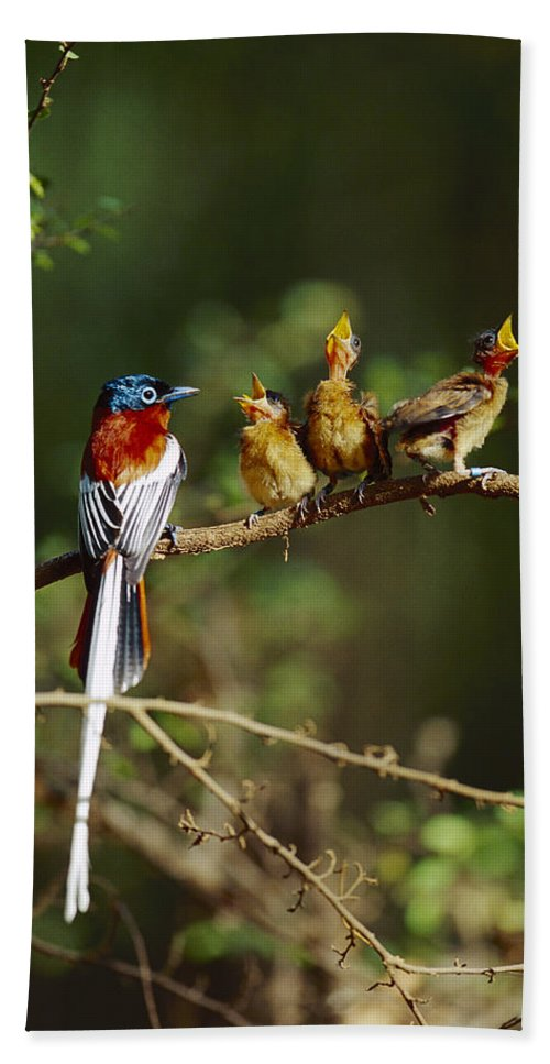 Mp Hand Towel featuring the photograph Madagascar Paradise Flycatcher by Cyril Ruoso