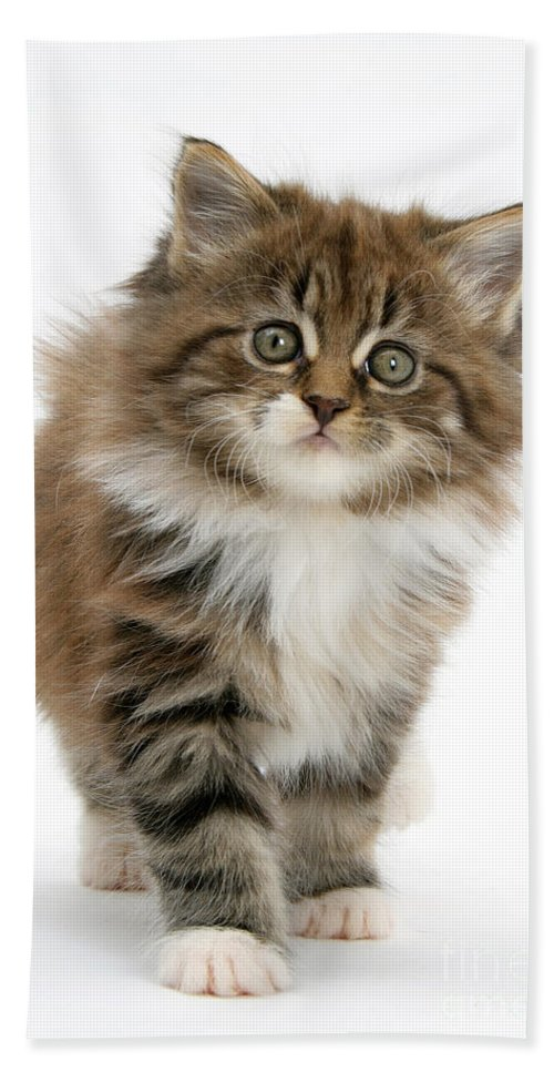 Animal Hand Towel featuring the photograph Maine Coon Kitten by Mark Taylor