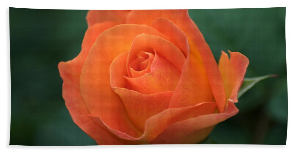 Orange Rose Bath Sheet featuring the photograph Orange Rose by Chris Day