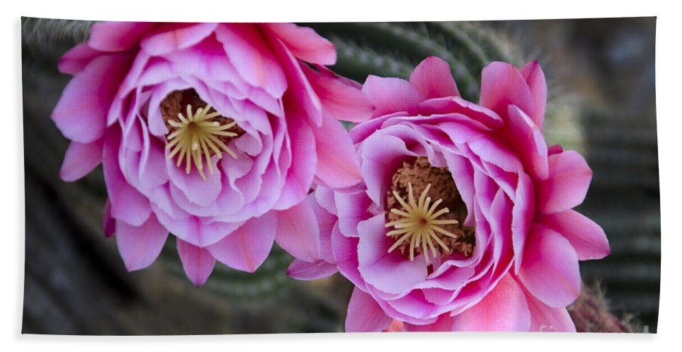 Pink Hand Towel featuring the photograph Pink Cactus Flower by Jim And Emily Bush
