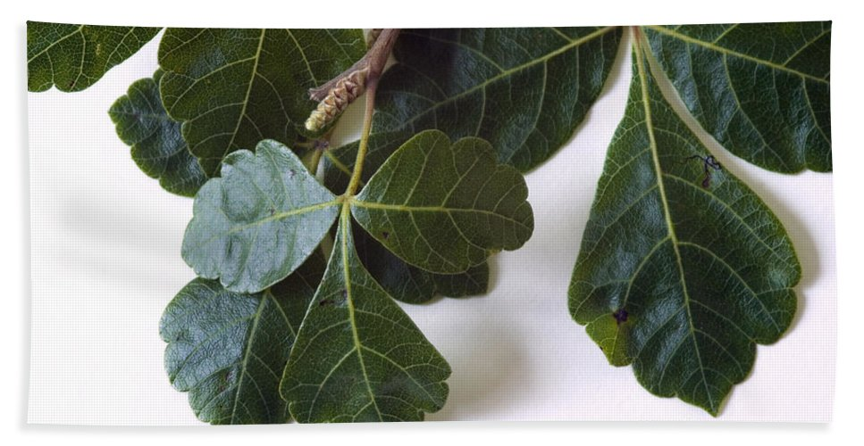 Plant Hand Towel featuring the Poison Oak Branch by Ted Kinsman
