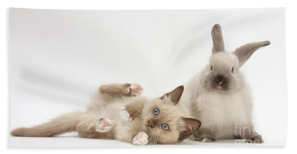Nature Hand Towel featuring the photograph Ragdoll-cross Kitten And Young by Mark Taylor