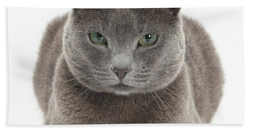 Nature Hand Towel featuring the Russian Blue Cat by Mark Taylor