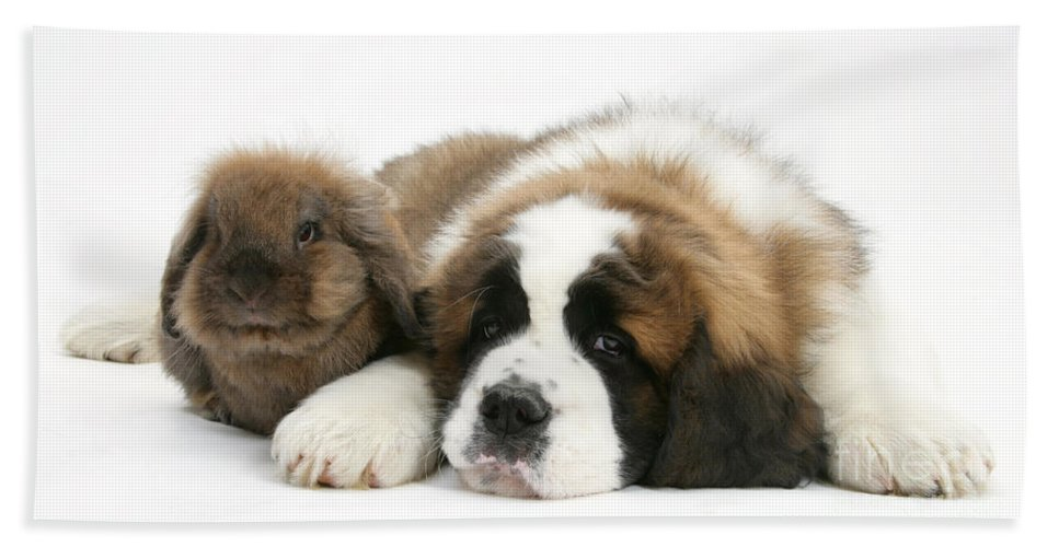 Animal Hand Towel featuring the photograph Saint Bernard Puppy With Rabbit by Mark Taylor