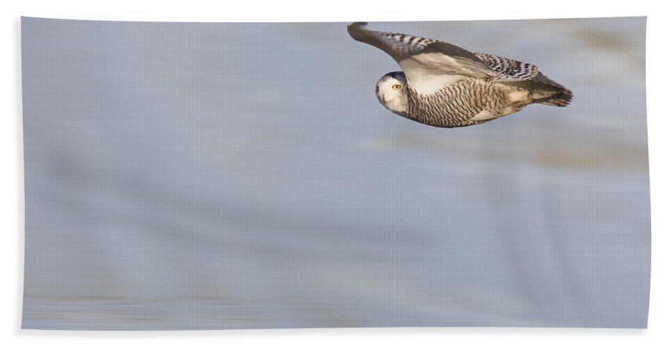 Owl; Snowy; Bird; White; Feather; Animal; Wild; Wildlife; Prey; Raptor; Looking; Winter; Wings; Snow; Beak; Predator; Nature; Wild Animal; Plumage; Beautiful Bath Sheet featuring the photograph Snowy Owl In Flight In Saskatchewan Canada by Mark Duffy