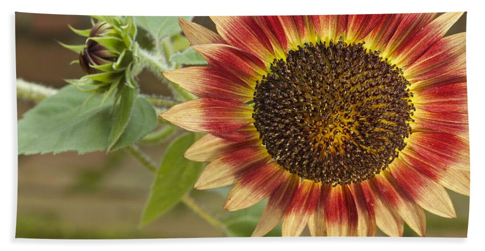 Agriculture Hand Towel featuring the photograph Sunflower by Jack R Perry