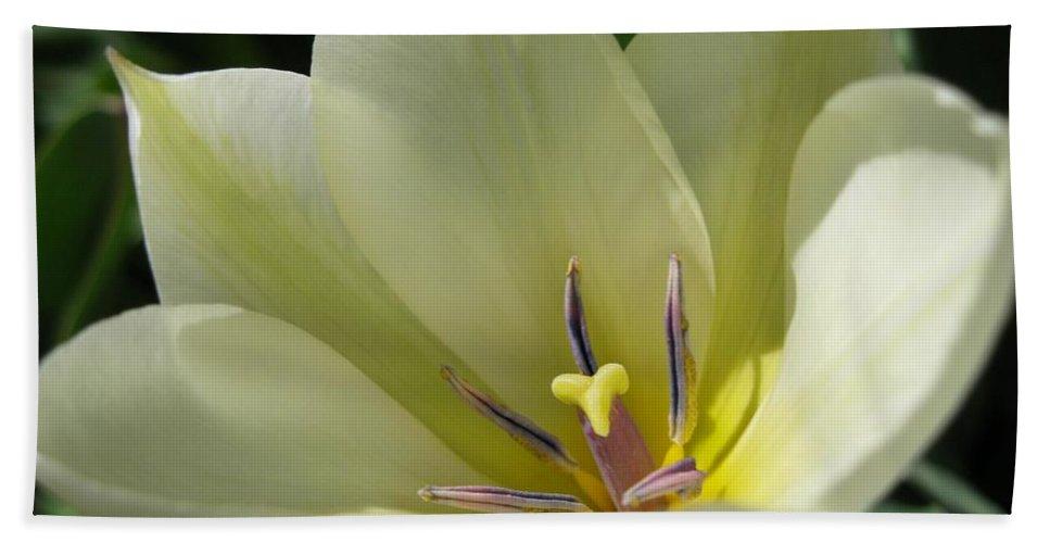 Tulip Hand Towel featuring the photograph Tulip Named Perles De Printemp by J McCombie