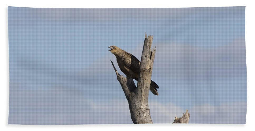 Whistling Kite Hand Towel featuring the photograph Whistling Kite by Douglas Barnard