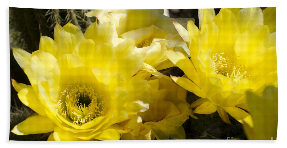 Cactus Hand Towel featuring the photograph Yellow Cactus Flowers by Jim And Emily Bush
