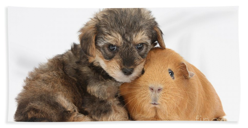 Nature Hand Towel featuring the photograph Yorkipoo Pup With Guinea Pig by Mark Taylor