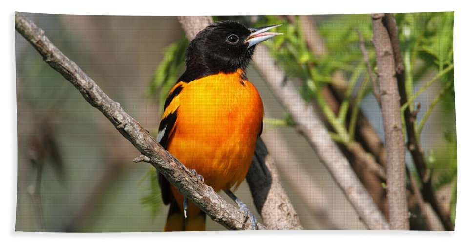 Doug Lloyd Hand Towel featuring the photograph Baltimore Oriole by Doug Lloyd