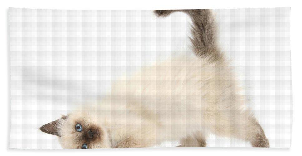 Animal Hand Towel featuring the photograph Birman-cross Kitten by Mark Taylor