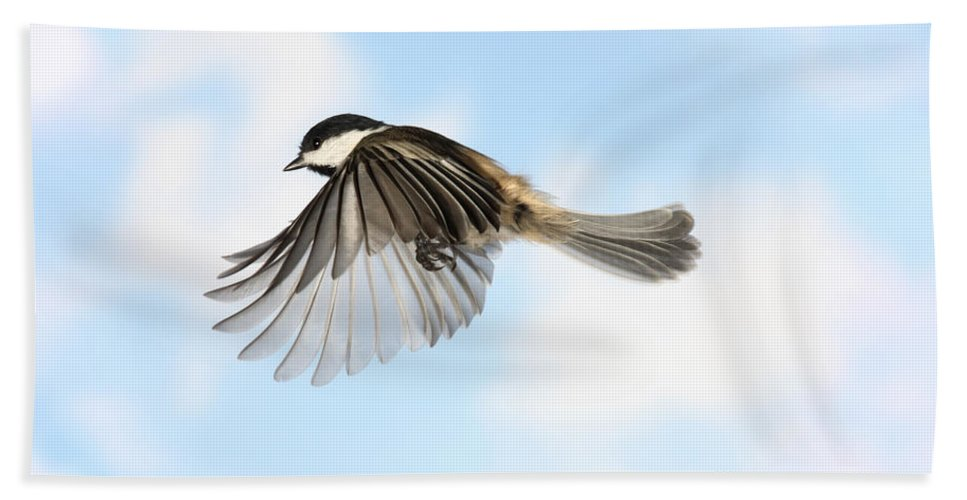 Black-capped Chickadee Hand Towel featuring the photograph Black-capped Chickadee In Flight by Ted Kinsman