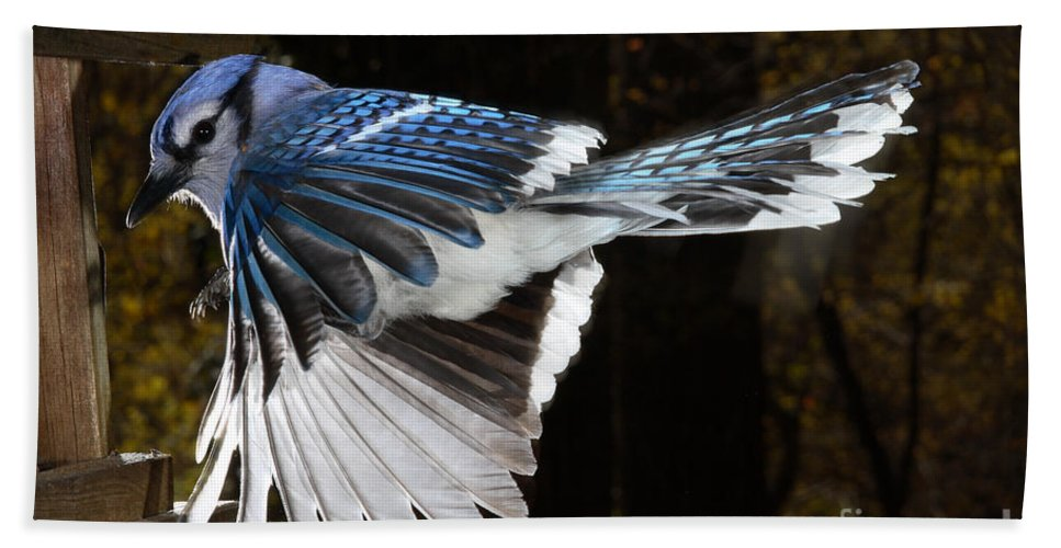 Blue Jay Hand Towel featuring the photograph Blue Jay In Flight by Ted Kinsman