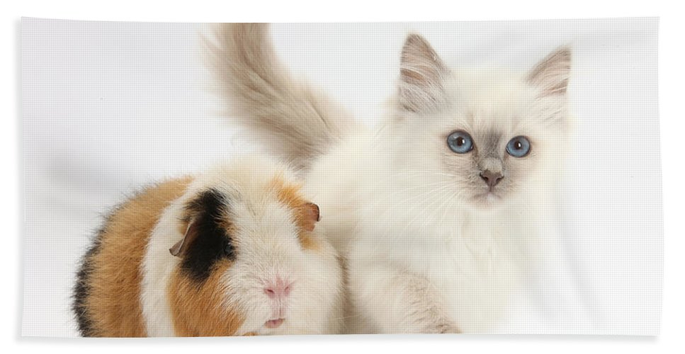 Nature Hand Towel featuring the photograph Blue-point Kitten And Guinea Pig by Mark Taylor