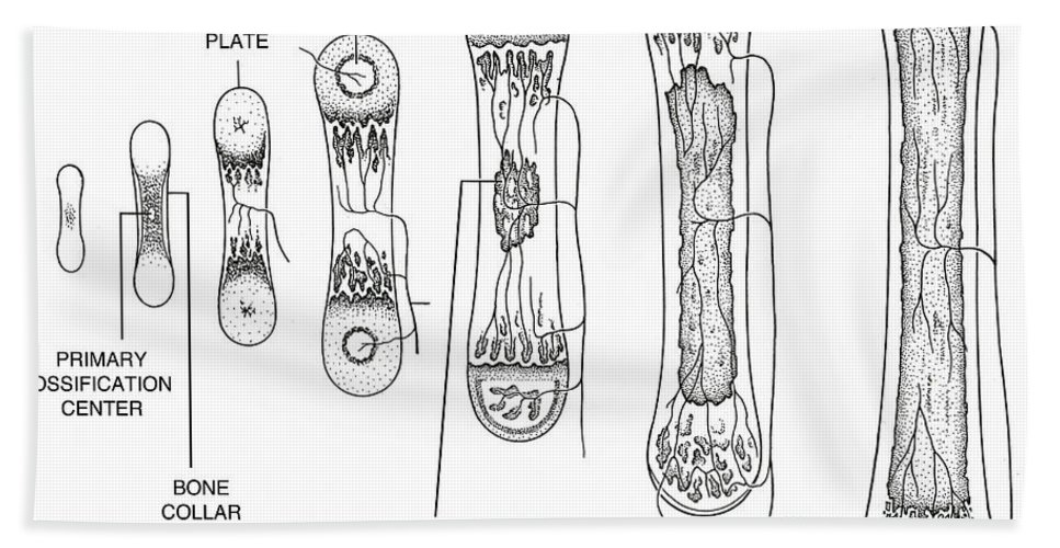 Science Hand Towel featuring the Bone Growth by Science Source