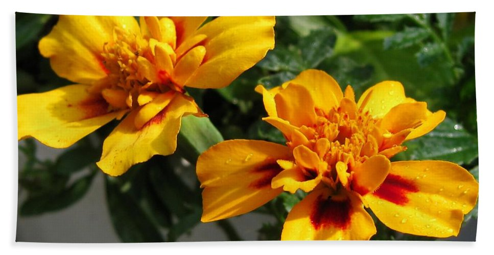 French Marigold Bath Sheet featuring the photograph French Marigold Named Starfire by J McCombie