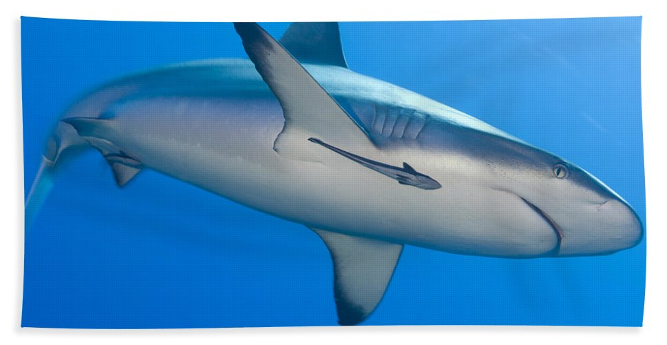English Reef Bath Sheet featuring the photograph Gray Reef Shark With Remora, Papua New by Steve Jones