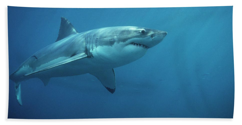Mp Hand Towel featuring the photograph Great White Shark Carcharodon by Mike Parry