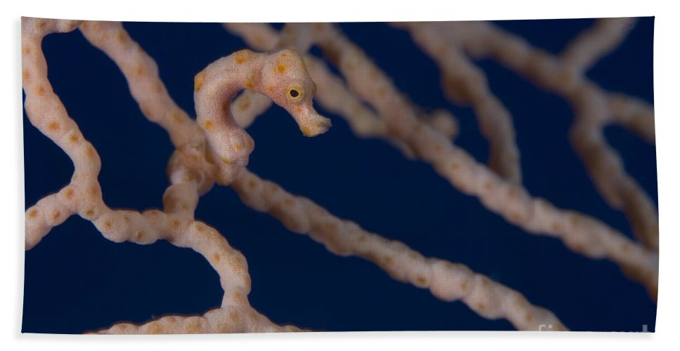 Fish Bath Sheet featuring the photograph Pygmy Seahorse On Sea Fan, Papua New by Steve Jones