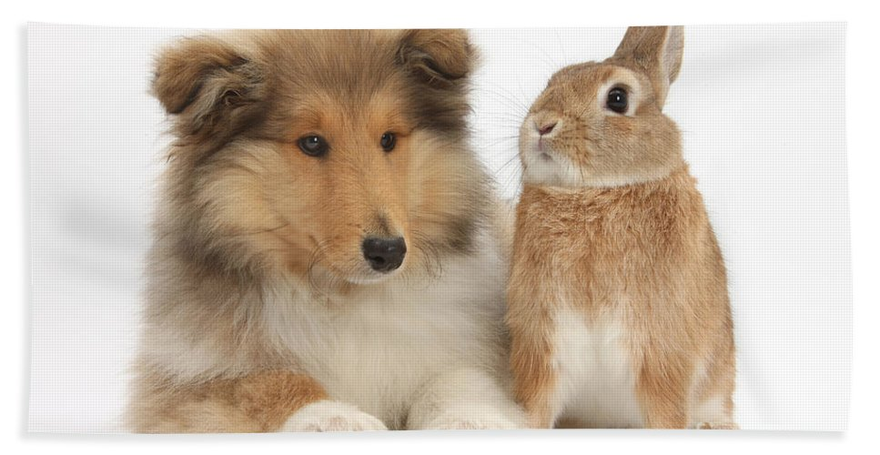 Fauna Hand Towel featuring the photograph Rough Collie Pup With Rabbit by Mark Taylor