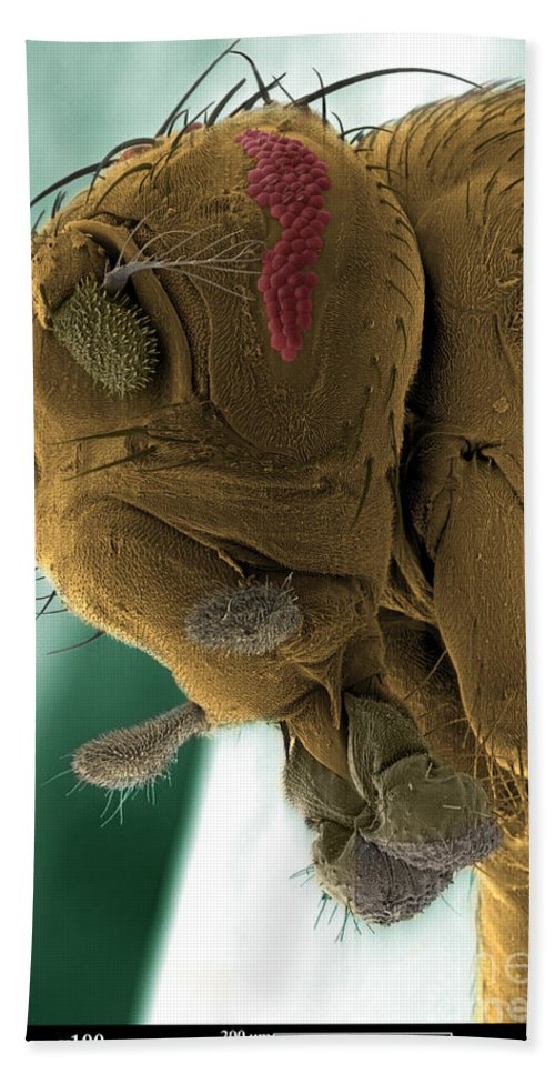 Fruit Fly Hand Towel featuring the photograph Sem Of A Mutant Fruit Fly by Ted Kinsman