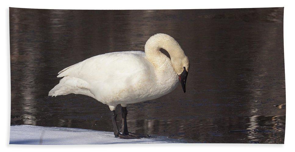 Doug Lloyd Bath Sheet featuring the photograph Trumpeter Swan by Doug Lloyd
