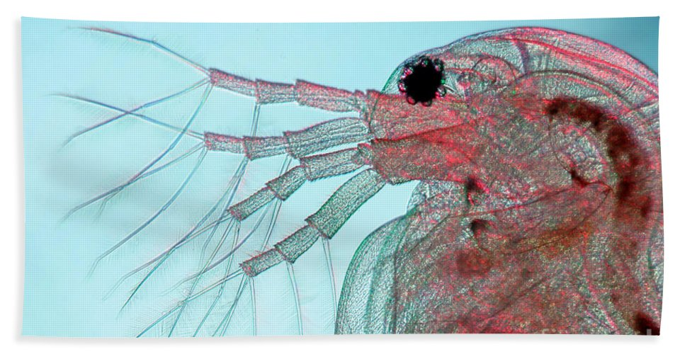 Water Flea Hand Towel featuring the photograph Water Flea Daphnia Magna by Ted Kinsman