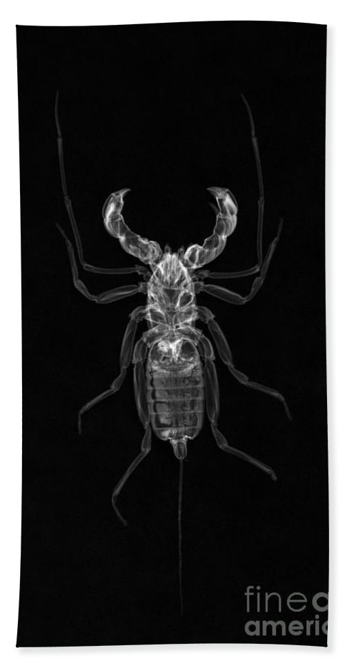 X-ray Hand Towel featuring the photograph Whipscorpion X-ray by Ted Kinsman