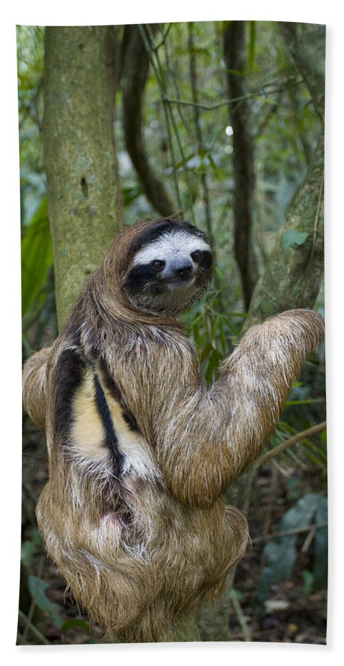 Mp Hand Towel featuring the photograph Brown-throated Three-toed Sloth by Suzi Eszterhas