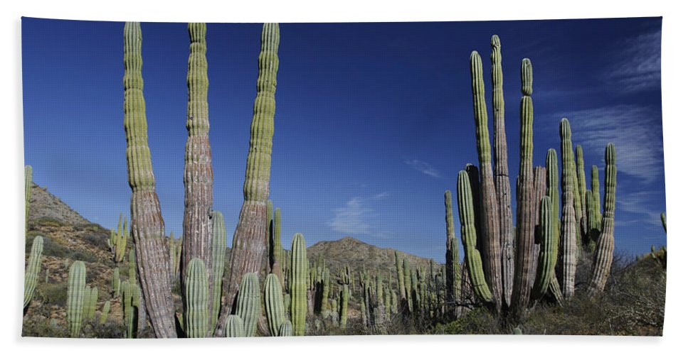 Mp Hand Towel featuring the photograph Cardon Pachycereus Pringlei Cacti by Hiroya Minakuchi