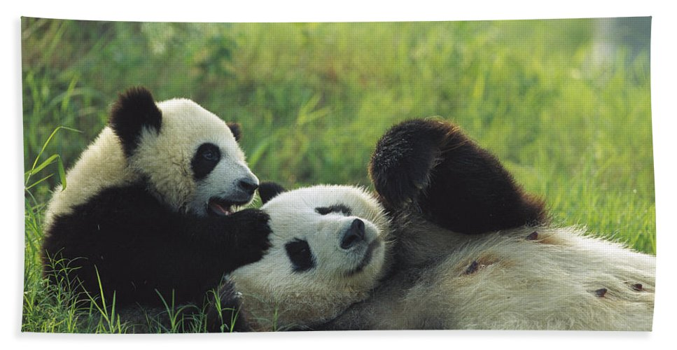 Mp Hand Towel featuring the photograph Giant Panda Ailuropoda Melanoleuca by Cyril Ruoso