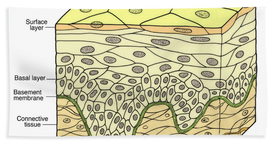 Medical Hand Towel featuring the photograph Illustration Of Stratified Squamous by Science Source