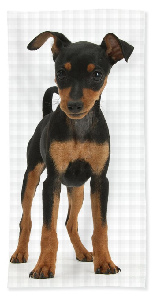 Nature Hand Towel featuring the photograph Miniature Pinscher Puppy by Mark Taylor