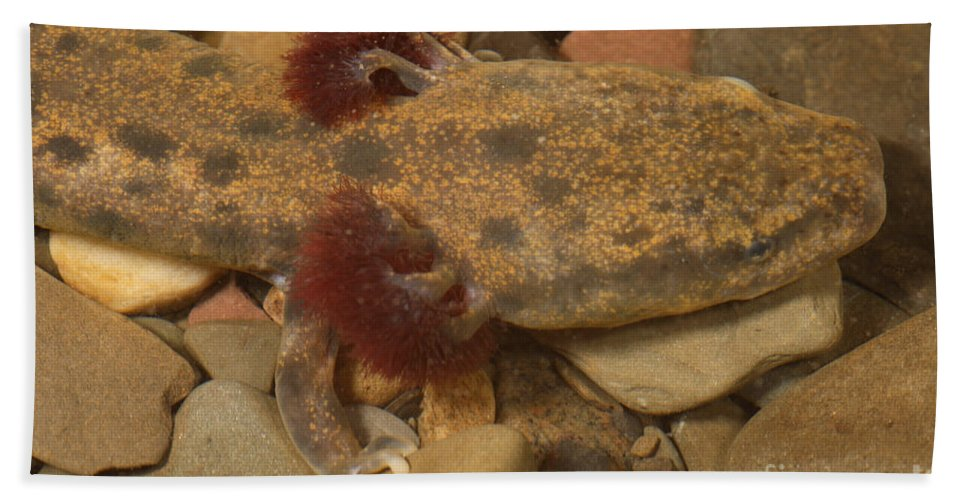 Mudpuppy Hand Towel featuring the photograph Mudpuppy by Ted Kinsman