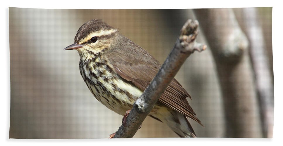 Doug Lloyd Hand Towel featuring the photograph Northern Waterthrush by Doug Lloyd